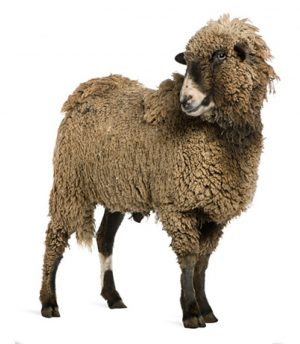 health benefits of organic wool fabric sheep