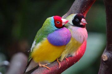 Gouldian Birds