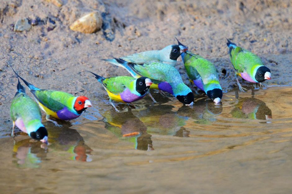 wild finches in Australia