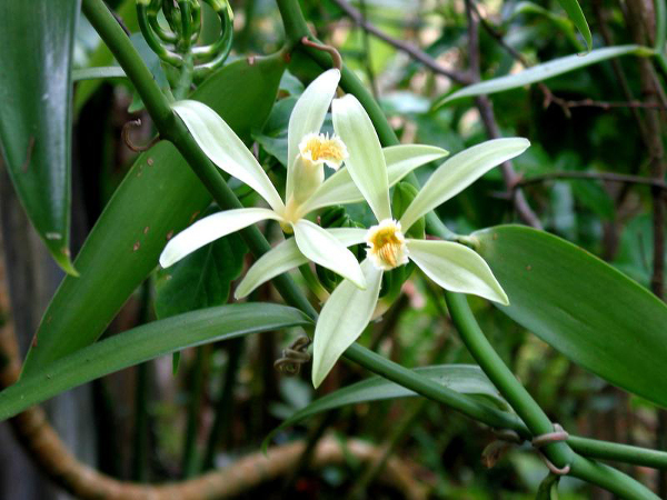 What Types of Scents Suit Your Personality vanilla blooms