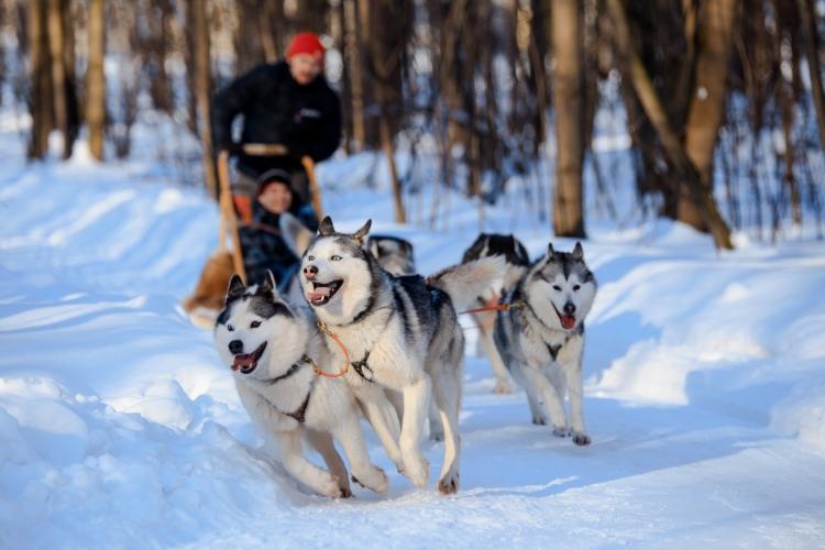 Sledding with Dogs in Sweden winter season