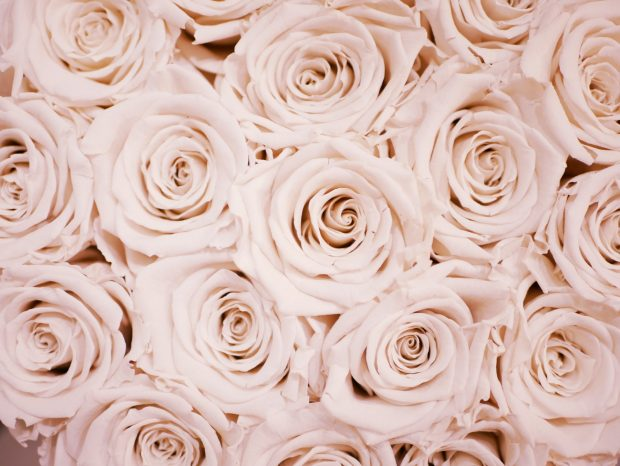pastel color roses