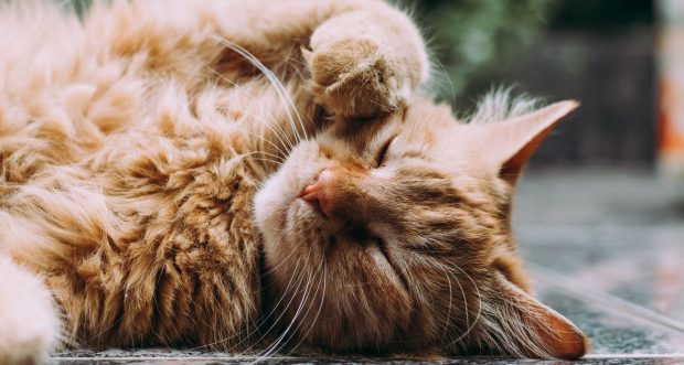 CBD Oil for Cats with Allergies