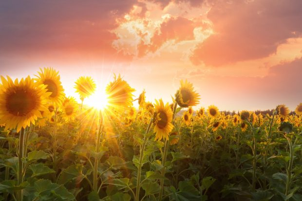 The Diverse Uses for Sunflowers