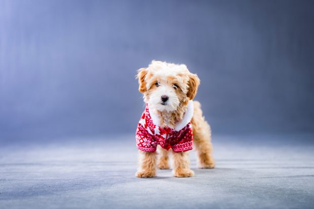 holiday outfits for dogs