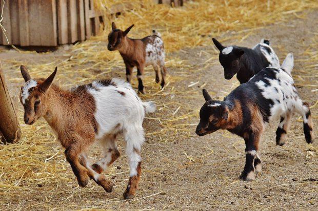holle goat milk formula